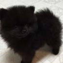 Pomeranian Male On Sell