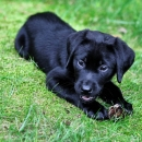 Labrador Puppy On Sale Female