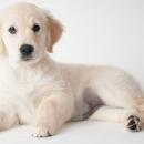 Golden Retriver Female Puppies