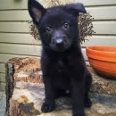 German Shepherd Male Puppy For Sell Available