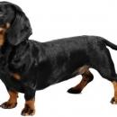 Puppies(dachshund Puppies)