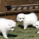Spitz Puppies On Sale