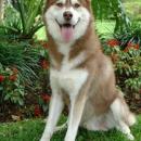 Siberian Husky (brown/white)